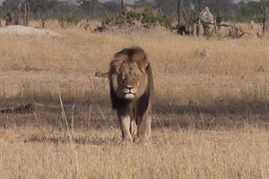 J Austin & Associates ends work with Cecil the Lion's killer after one day