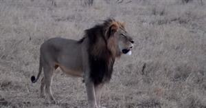 Yelp removes barrage of 'media-fueled' reviews against dental practice owned by Cecil the Lion's killer