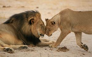Nearly 9 in 10 PR pros say they wouldn't rep Cecil the Lion's killer