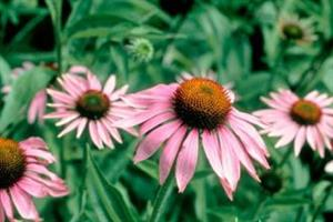 Echinacea should not be given to under 12s, MHRA says