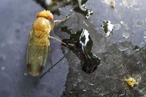 Will latest strategy help to tackle soft-fruit pest Drosophila suzukii?