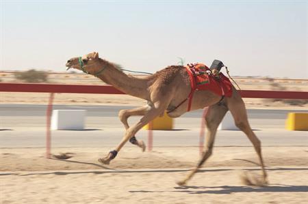 Camel racing, Qatar