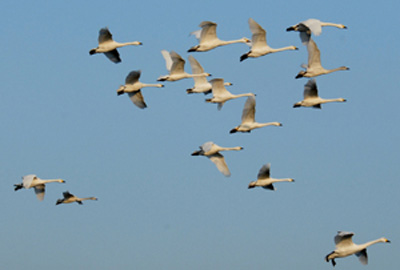 Bewick's swans: Wildfowl & Wetlands Trust icons