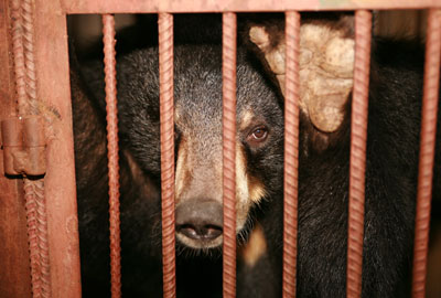 A WSPA photograph of a bear on a bile farm
