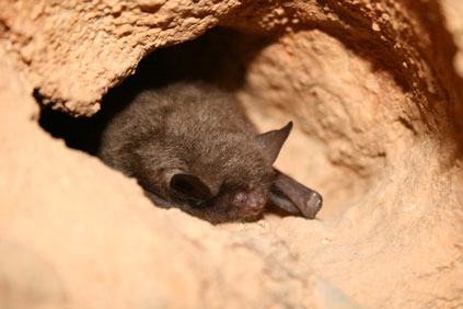 The Indiana Bat is on the Federal list of protected species
