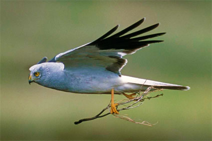 Hen harrier...scuppered plans for Scottish wind farm