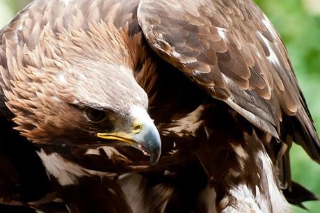 Golden eagles are among the birds killed on the wind farms
