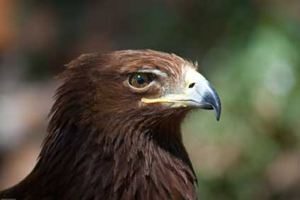 The Golden Eagle: 'not affected' by Stacain wind farm