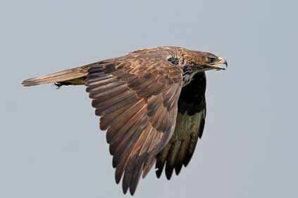 The project will be monitoring the migratory patterns of endangered species such as the Bonelli's Eagle