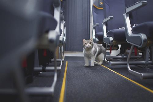 "Thomas Cook Airlines ""#CatsOnAPlane"" by Catch"