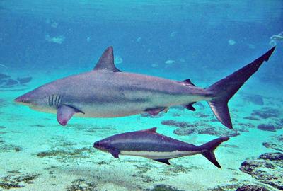A dusky whaler shark