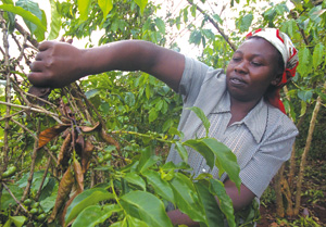 Fairly traded coffee: are ethical goods threatening fundraising?