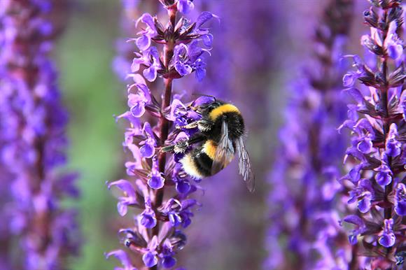 Bee appy: a white-tailed bumblebee