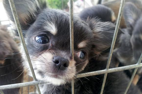 Dogs Trust investigated covertly how new rules led to a rise in puppy-trafficking