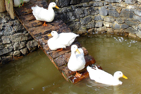 For duck's sake: Forster to highlight duck welfare