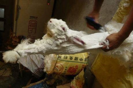 Angora wool: rabbits mistreated in China