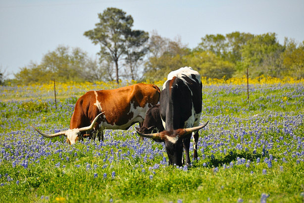 Texas longhorn cattle: TTM wins new Texas Tourism account (Credit: Faungg's photos, flickr)