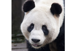 Yang Guang the panda