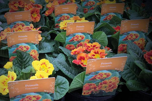 Primroses: early flowering due to mild weather could lead to shortage for Mother's Day when demand will hit peak