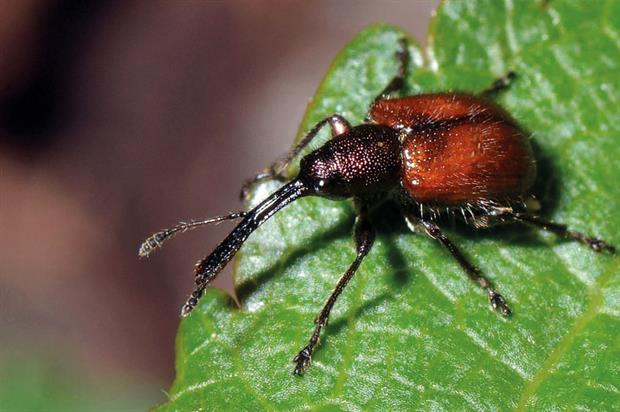 Rhynchites: damage from apple fruit pest is on the rise - image: Christophe Quintin