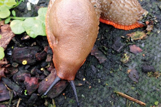Arion vulgaris or Spanish slug - image: Dove Associates