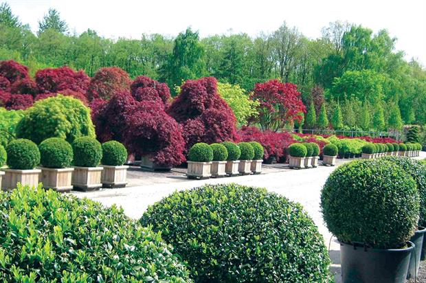 Buxus: Alton Garden Centre brings in stock from the Netherlands, which might mean buying a larger quantity of plants - image: Bruns Pflanzen