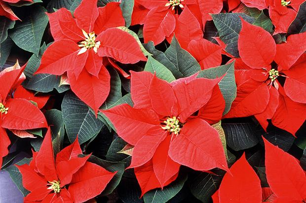 Poinsettia: exchange rate effect