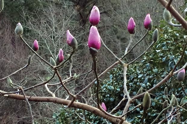 Early flowering: several magnolias in the National Plant Collection at Caerhays have opened in record early time