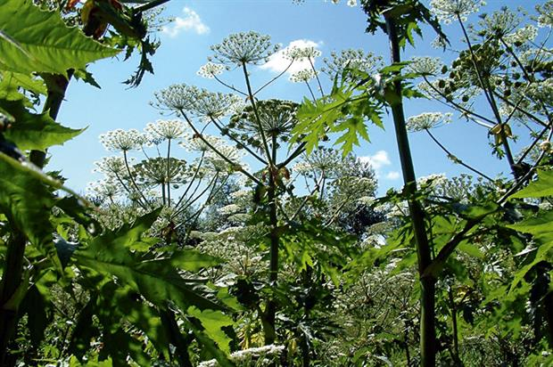 Giant hogweed: cause of blisters. Image: PCA