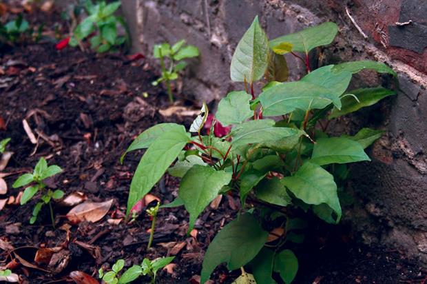 Japanese knotweed: strategy developed to stop spread of invasive - image: HW