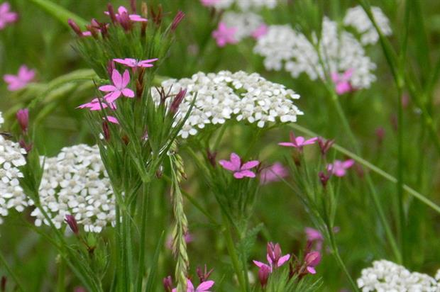Wildflowers: seven city roundabouts selected for meadows (credit: Morgue)