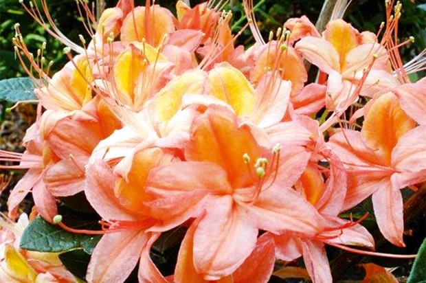 Azaleas: new Midsummer range - image: Millais Nurseries