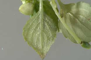 Impatiens industry under threat of downy mildew 'explosion' - photo Crown copyright - courtesy of CSL