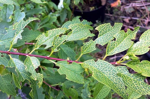 Damage: vine weevil pest threat
