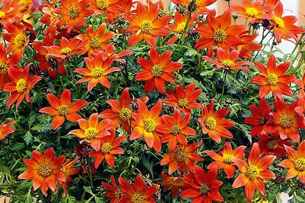 Bidens ferulifolia 'sunbidevb 2'