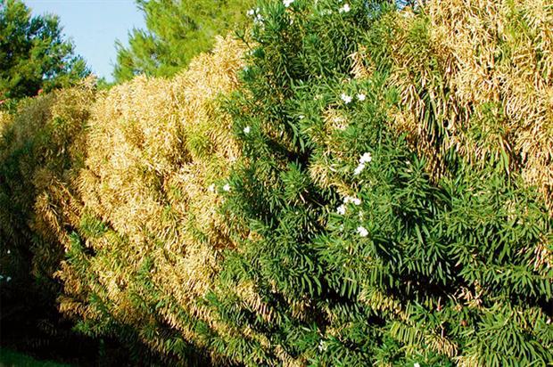Oleander: risk posed by disease (credit: HW)