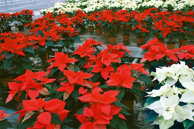 Poinsettias: energy costs play a significant part in growers' policies - image: HW