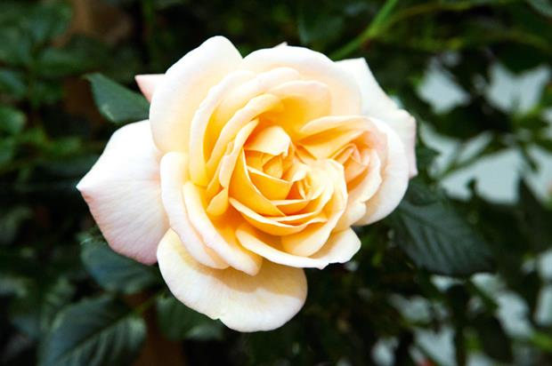 Rosa Susie ('Harwhistle')