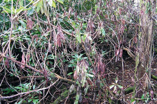 Phytophthora ramorum: public perception of threats from invasive pests and pathogens studied in UNPICK project - image: HW
