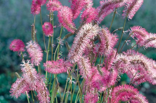 S. obtusa - image: Floramedia