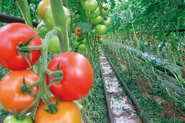 Tomatoes: plan was to use waste heat from incinerator