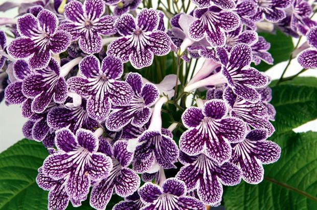 Streptocarpus 'Polka-Dot Purple'