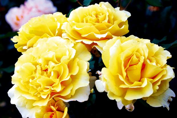 'Sunny Sky': Rose of the Year 2016 was bred in Germany by W Kordes - image: British Association of Rose Breeders