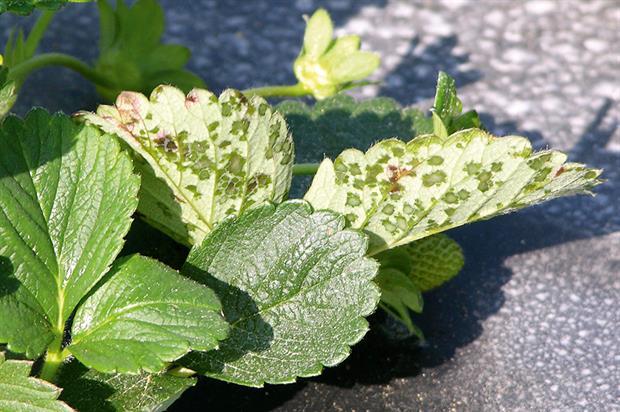 Xanthomonas: angular leaf spot disease in strawberry - image: Don Ferrin