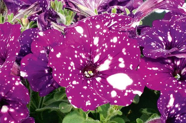 Best bedding or pot plant, Petunia 'Night Sky', Ball Colegrave