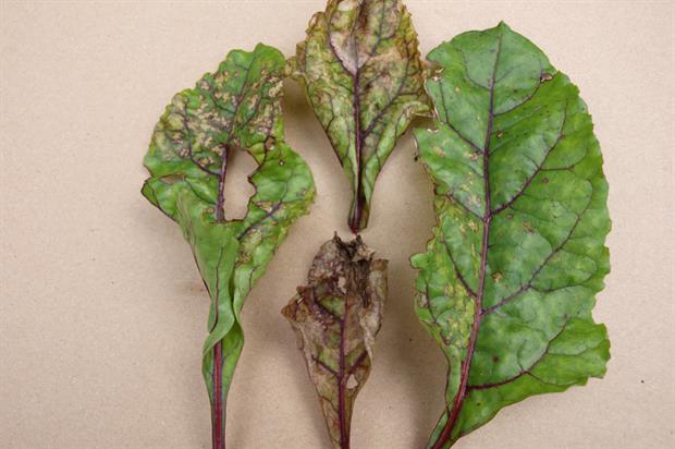 Effect of downy mildew on beetroot leaves - image: Geoff Dixon