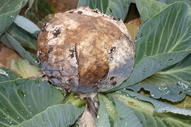 Grey mould botrytis on cabbage - image: Geoff Dixon