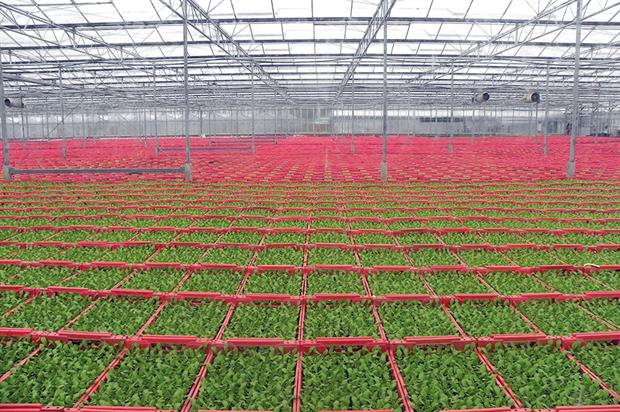 PR & AJ Mercer: glasshouses are packed with germinating and young lettuce plants - image: HW