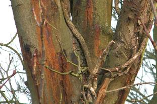 Bleeding canker on horse chestnut Pic: Forestry Commission