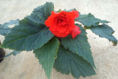 Begonia 'Kimjongilia' - image: Dr Russell Sharp